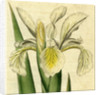 Painted botanical illustration of Tall Iris, Iris Ochroleuca by unknown
