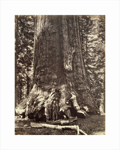 Base of the Grizzly Giant, Giant Sequoia tree, Yosemite, California, 1868 by Carleton Emmons Watkins