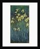 Yellow Irises, 1914-1917 by Claude Monet