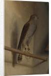 A Sparrowhawk, 1510s by Jacopo De' Barbari