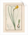 Petticoat daffodil (Narcissus bulbocodium) by Anonymous