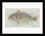 Chub, from the Fish from American Waters series for Allen & Ginter Cigarettes Brands, 1889 by Allen & Ginter