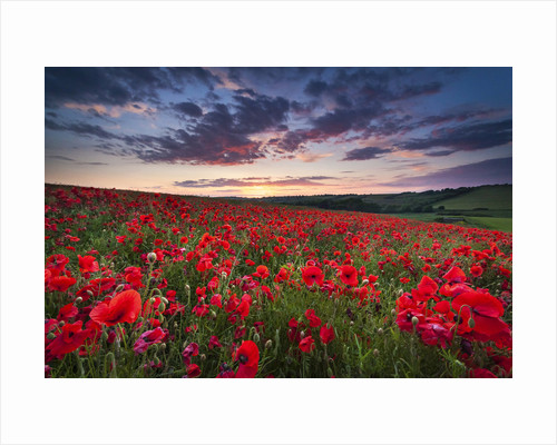 Poppy field Sunset by Drew Buckley