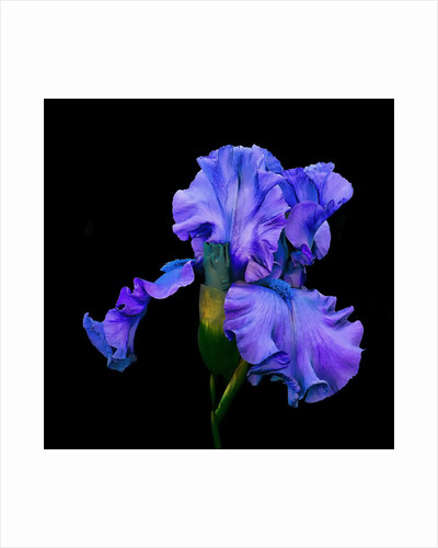 Portraits of Iris: Iris 'Deep Pacific' by Don Rice