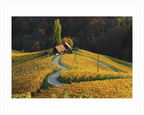 Vineyards by Albert Ceolan