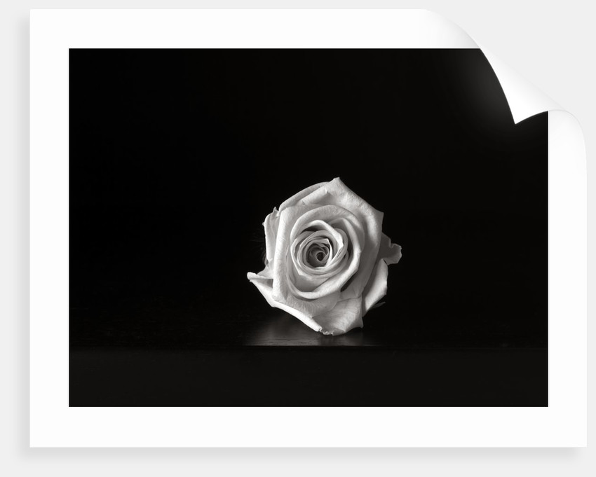 Roses I by Kelly Hoppen