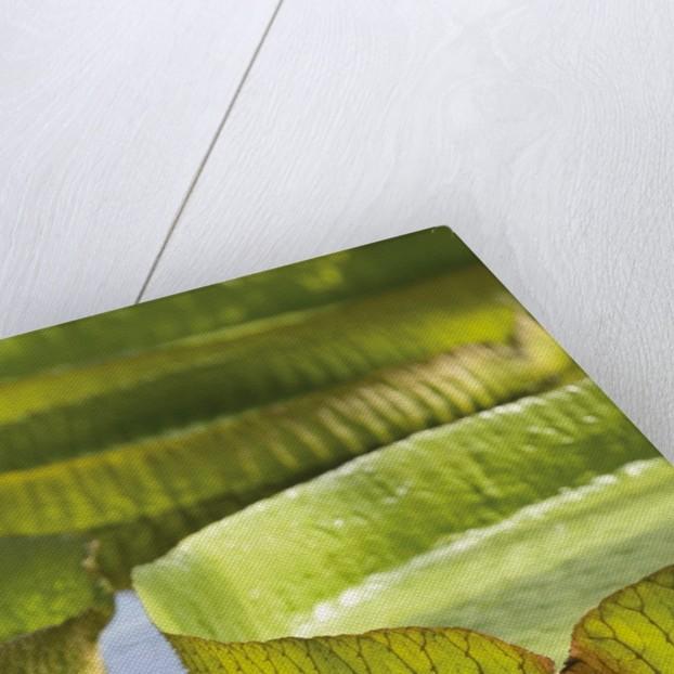 Victoria amazonica. Giant Amazonian Waterlily by Andrew McRobb