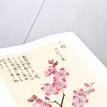 Honzo Zufu [Cherry Blossum] by Kan'en Iwasaki