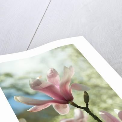 Magnolia sprengeri. var. diva by Andrew McRobb