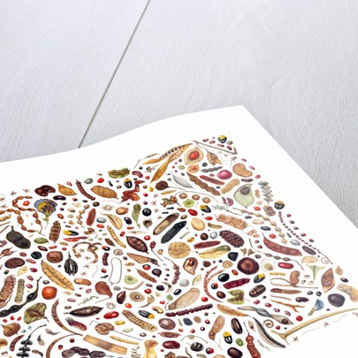 Bean Painting: Specimens from the Leguminosae Family by Rachel Pedder-Smith