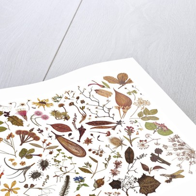 Herbarium Specimen Painting page 7 by Rachel Pedder-Smith