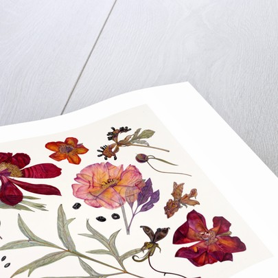 Peony Specimens by Rachel Pedder-Smith