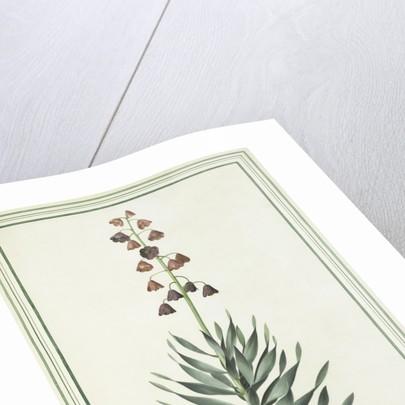 Fritillara persica by Simon Taylor