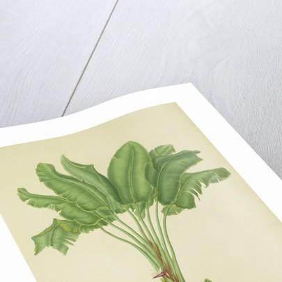 Strelitzia augusta by Franz Bauer