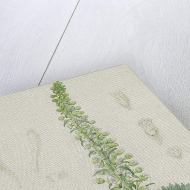 Saxifraga florulenta by Walter Hood Fitch