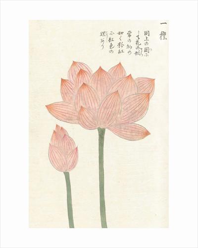 Honzo Zufu [Lotus & Bud] by Kan'en Iwasaki
