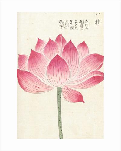 Honzo Zufu [Lotus] by Kan'en Iwasaki