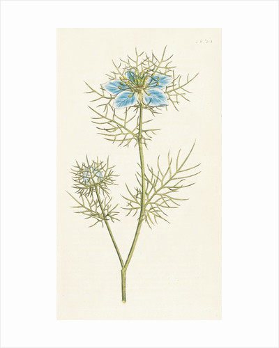 Nigella damascena. Garden Fennel-flower by Sydenham Teast Edwards