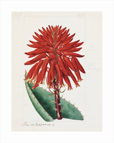 Aloe mitriformis Mill. Mitre Aloe by Sydenham Teast Edwards