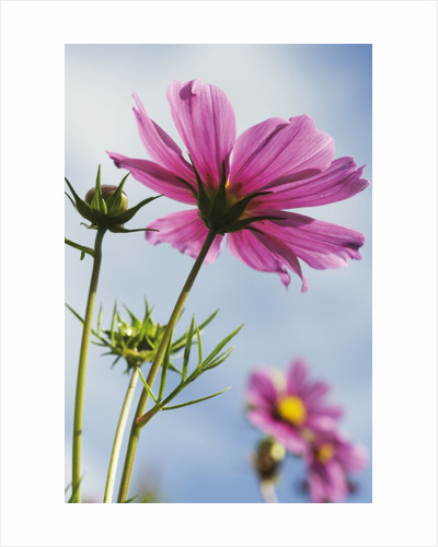 Cosmos bipinnatus. Mexican Aster by Andrew McRobb