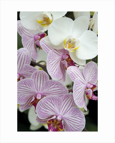 Orchid Festival - Phalaenopsis Hybrids by Andrew McRobb