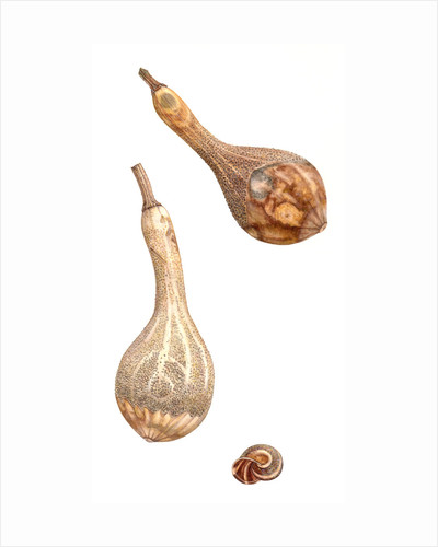 Dried Gourd with Snail Shell by Rachel Pedder-Smith