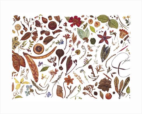 Herbarium Specimen Painting page 6 by Rachel Pedder-Smith