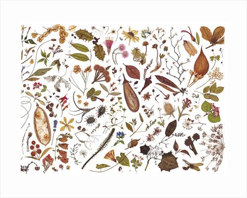 Herbarium Specimen Painting page 7 by Rachel Pedder-Smith