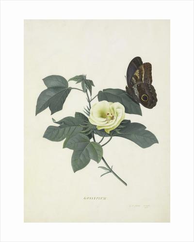 Gossypium by Georg Dionysius Ehret