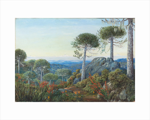 6. Seven snowy peaks seen from the Araucaria forest, Chili, 1880. by Marianne North