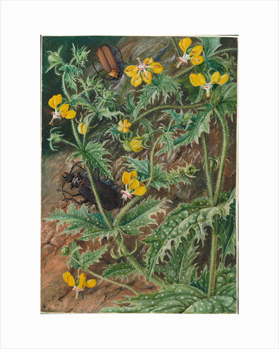 7. A Chilean stinging nettle and male and female beetles, 1880 by Marianne North