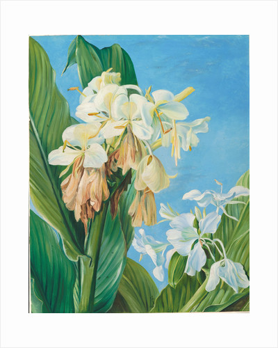 72. Flowers of Hedychium, botanic gardens, Brazil, 1880 by Marianne North