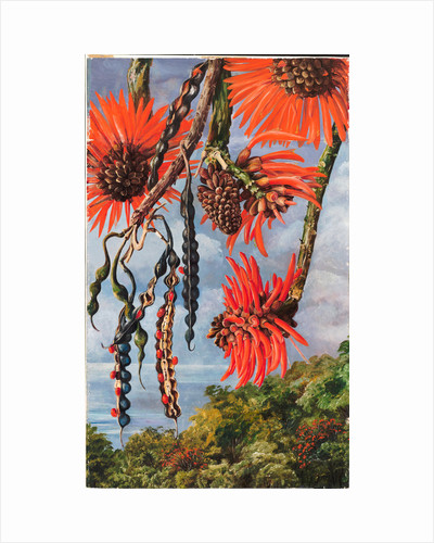 100. Flowers of another kind of coral tree, 1880 by Marianne North