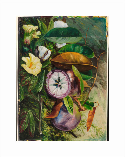107. Foliage, flowers, and seed vessels of cotton, and fruit of star apple, Jamaica, 1872 by Marianne North