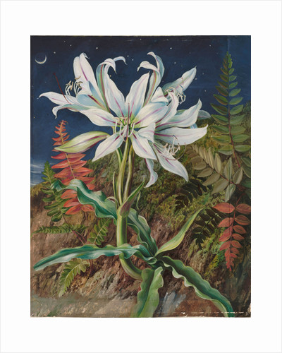 110. Night-flowering lily and ferns, Jamaica, 1872 by Marianne North