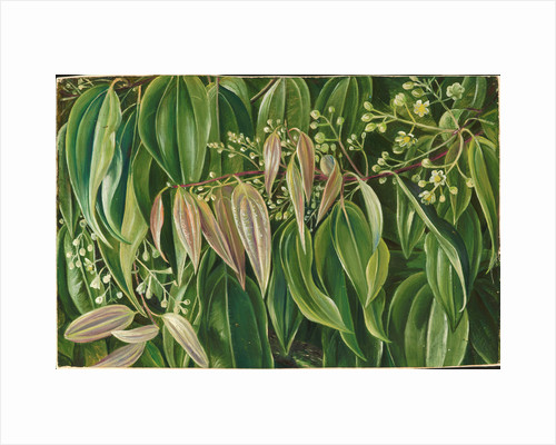 127. Foliage and flowers of the cinnamon tree, 1872 by Marianne North