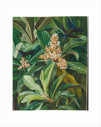 128. Foliage and flowers of the loquat or Japanese medlar, Brazil, 1873 by Marianne North