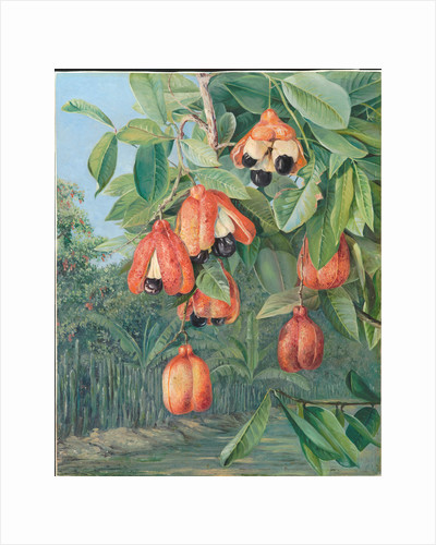 137. Foliage and fruit of the akee, Jamaica, 1872 by Marianne North