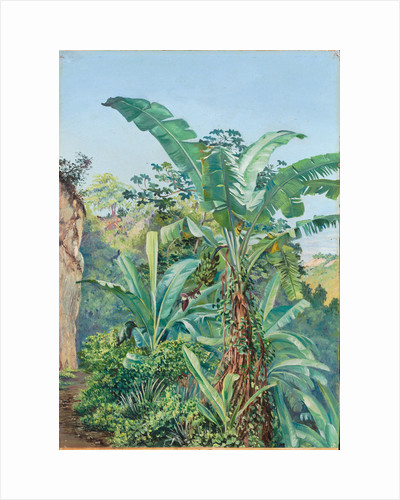 145. Study of banana and trumpet tree, Jamaica, 1872 by Marianne North