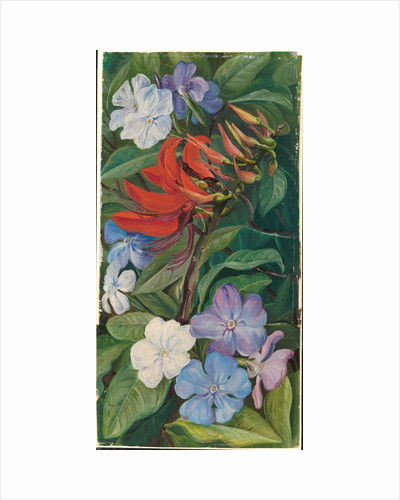 151. Flowers of a Brazilian coral tree and vegetable mercury, 1873 by Marianne North