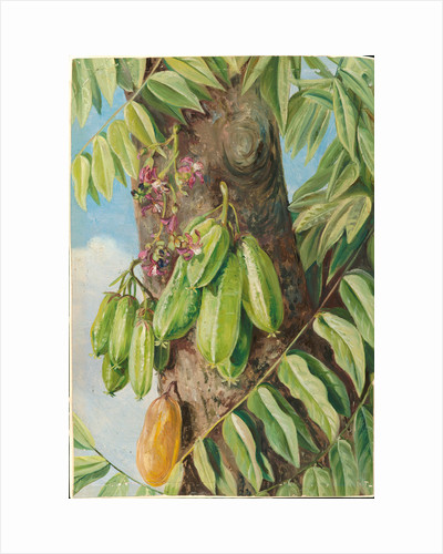 152. The bilimbi or blimbing, Jamaica, 1872 by Marianne North