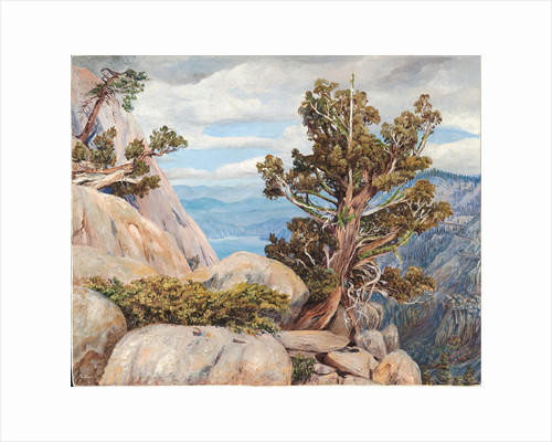 188. Old cypress or juniper tree, Nevada mountains, California, 1875 by Marianne North
