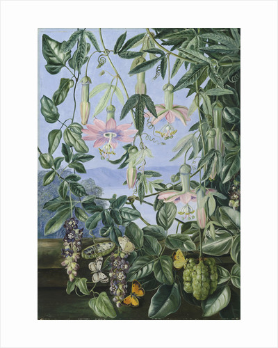 13. Two Climbing Plants of Chili and Butterflies. by Marianne North