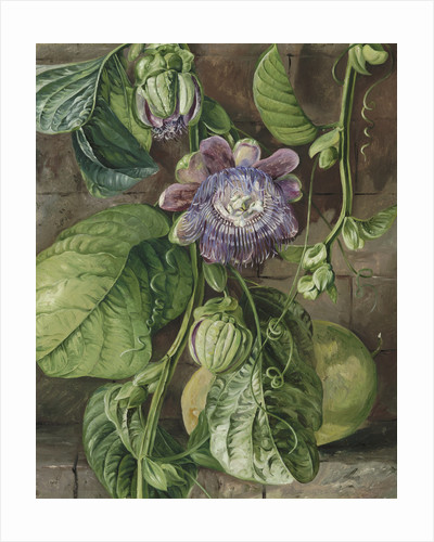 112. Foliage, flowers, and fruit of the Granadilla, Jamaica. by Marianne North