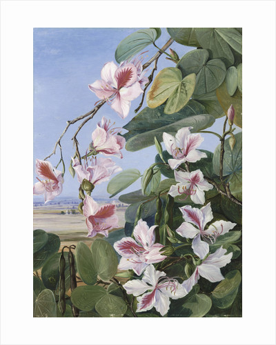 221. Foliage, Flowers and Fruit of a common Indian forest tree. by Marianne North