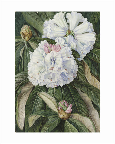234. Foliage and Flowers of the Indian Rhododendron grande. by Marianne North