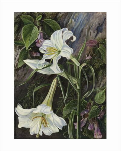 285. The Great Lily of Nainee Tal, in North India. by Marianne North