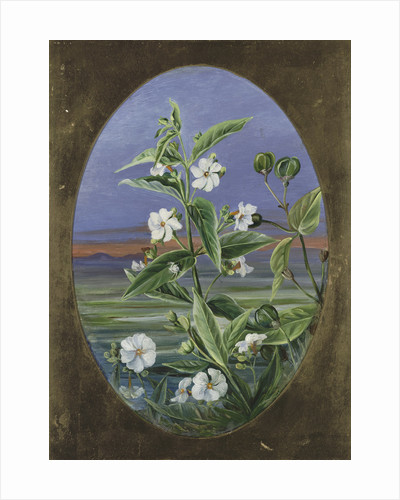 307. The Night Jessamine. by Marianne North