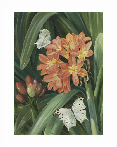 352. Clivia miniata and Moths, Natal. by Marianne North