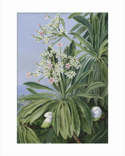 358. Ordeal Plant or Tanghin and Parokeets of Madagasear. by Marianne North